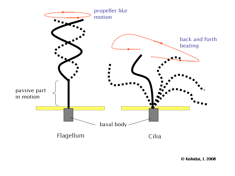 Cilia and Flagellum